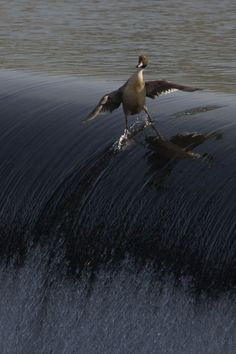 Coolest. Duck. Ever. Riding the waves.