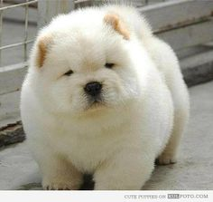 Chubby and fluffy - Cute and funny white puppy being fluffy and chubby looking adorable.