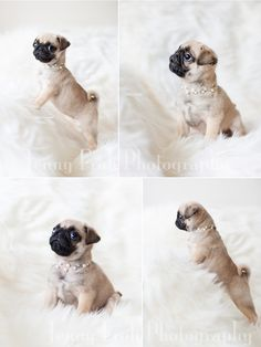 Fawn Pug puppy in pearls
