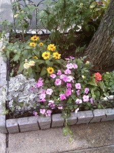 rose-colored dahlias, the black- eyed Garden abloom with silverdust, dahlias, impatiens, black eyed Susans, Lantana and more!Susans (rudbeckia) and the Superbells Lavender (calibrachea hybrid), Lantana