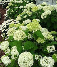 Hortensia Hydrangea, Hydrangeas, White Gardens, Vegetables, Green, Nature, Naturaleza, Vegetable Recipes, Nature Illustration