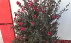 Venta de Leptospermum red damask