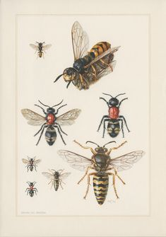 Vintage Insect Print, Wasps Illustration, Hymenoptera Entomology.  From a collection of insects lithographs published in 1961. Original print!