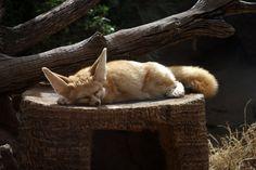 Sleeping Fox by Anthony Minh Nguyen