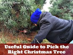 Here is our Useful Guide to Pick the Right Christmas Tree for your family this year!