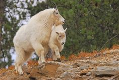 Mountain goats are friendly faces in the Black Hills of South Dakota.