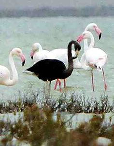A black flamingo is seen in a salt lake at the Akrotiri Environmental Centre