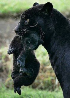Black jaguar and cub