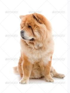 Chow-Chow Dog In Studio Shot On White Background