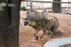 Aardwolf - When they're pissed off or frightened, they can make those manes on their backs stand up.  This makes them look both bigger and a bit more metal than they usually do.