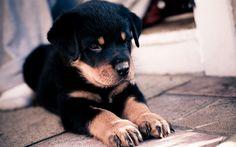 Lataa kuva pentu, rottweiler, pieni koira, musta pentu, söpöjä eläimiä, koirat