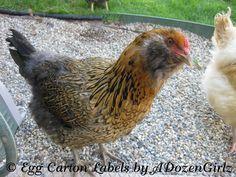 Easter Egger chicken 'Tiger' will lay light blue/greenish eggs.