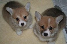 Adorable Corgi puppy pair