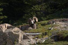 Bighorn sheep, Banff
