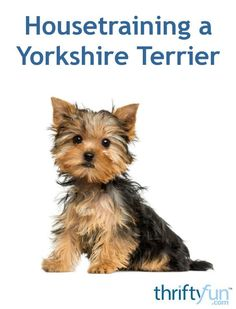 If you have a Yorkshire Terrier puppy, you will need to get it house broken as soon as possible. This is a guide about house training a Yorkshire Terrier. Source by thriftyfun The post House Training a Yorkshire Terrier appeared first on Avery Dogs. Yorkshire Terrier Haircut, Yorkshire Terrier Puppies, Terrier Dogs, Boston Terriers, Terrier Mix, Pitbull Terrier, Dog Training Methods, Best Dog Training, Potty Training