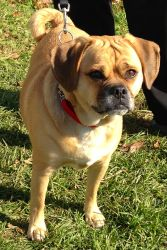 Adopted! Hooch is an adoptable Pug Dog in Spring Lake, NJ. Hooch was found as a stray. Please check back to see if we have more info on him....