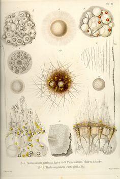 Ernst Haeckel: Die Radiolarien (1862)