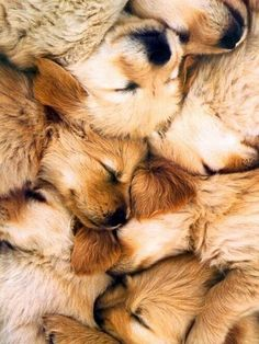 Golden Retriever Puppy Pile - Why am i not in this pile of pups. Cute Puppies, Cute Dogs, Dogs And Puppies, Doggies, Baby Dogs, Perros Golden Retriever, Golden Retrievers, Baby Animals, Cute Animals