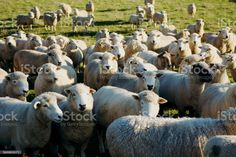 Close-Up of Sheep in Rural New Zealand Close-Up of Sheep in an agricultural field in Rural New Zealand. Agricultural Field Stock Photo Animal Body Parts, Video Image, Feature Film, Photo Illustration, Image Now, Royalty Free Images, New Zealand, Close Up, Sheep