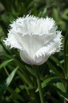 Honeymoon tulip - My Garden Wonderful Flowers, Rare Flowers, Unique Flowers, Exotic Flowers, White Flowers, Beautiful Flowers, Blossom Garden, Blossom Flower, Orquideas Cymbidium