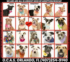 THESE DOGS ARE IN NEED OF LOVING HOMES OR RESCUE ASAP!!! ADOPTIONS ARE DONE IN PERSON AT: Orange County Animal Services IN ORLANDO FLORIDA. 2769 CONROY RD. (407)254-9140. PLEASE DO NOT HESITATE IF YOU CAN SAVE A LIFE! THE SHELTER IS FULL THESE DOGS ARE ALL VERY VERY LIMITED ON TIME!!! THE ADOPTION FEE IS $55! INCLUDES SPAYED/NEUTER, VACCINATIONS AND MICROCHIP.   https://www.facebook.com/PawsPitsAreWorthSaving/photos/a.180589148740478.43325.180580828741310/480394645426592/?type=1