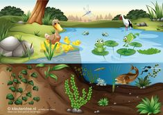 TOUCH this image: Interactieve praatplaat 'thema de sloot', kleuteridee.nl by juf Petra Pond Habitat, Frog Habitat, Rainforest Food Web, Sapo Frog, Pond Animals, Frog Theme, Dora, School Murals, World Water Day