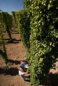 Hops growing on trellises in Corvallis, Oregon.