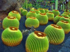 Cactus garden Lanzarote.   Topografía BGO Navarro - Estudio de Ingeniería & Begoña Navarro Marrero - Topógrafo - Colegiado 5.970