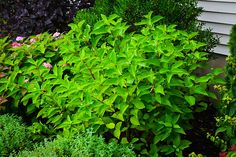 Red Osier Dogwood Bush flood resistant shrub loves moisture, full to partial sun, any type of soil, and most temperatures as long as it is not hot and dry. Twig Dogwood, Planting Flowers, Dogwood Shrub, Red Osier Dogwood, Silky Dogwood, Backyard, Red Twig Dogwood, Dogwood, Redbud Tree