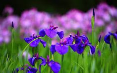 Image result for pink and blue flowers high resolution