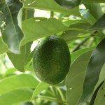 Pollinating in avocado trees is a unique process. A mature tree may produce over one million blooms over its life time, hundreds of them during any one season. So, do avocado trees cross pollinate? Read this article to learn more. Avocado Toast, Avocado Farm, Avocado Salad, Tuna Avocado, Fresh Avocado, Tuna Salad, Avocado Dessert, Planting Avocado Tree, Avocado Tree Care