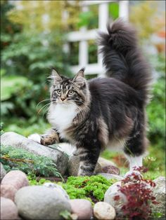 Interested in owning a Maine Coon cat and want to know more about them? We've made this site to tell you all you need to know about Maine Coon Cats as pets Pretty Cats, Beautiful Cats, Animals Beautiful, Cute Animals, Cute Cats And Kittens, Cool Cats, Funny Kittens, White Kittens, Adorable Kittens