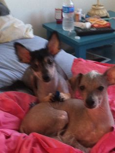 Tequila (Xolo) Harry (Chinese crested)y babies Hairless Dog, Tequila, Yorkie, Animals And Pets, Dog Breeds, Boston Terrier, Chinese, Babies, Dogs