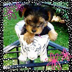 My Yorkie bailey <3 #yorkie #dog
