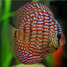 ROYAL RED DISCUS regular - Discus - South American - Cichlids