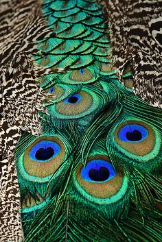 Peacock Patterns by Mark Ingram