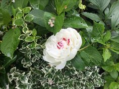 Rose, Flowers, Plants, Gardens, Small City Garden, Pink, Plant, Roses, Royal Icing Flowers