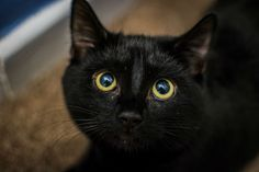 Bombay Cat Breed Information, Pictures, Characteristics & Facts