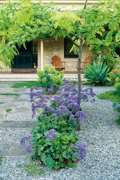 Drought tolerant garden - Bushes of statice grow from the hardy gravel and draw guests up the front path to the homestead-style house.
