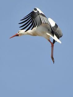 Stork in landing