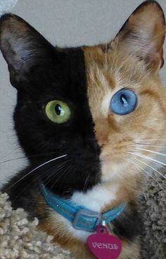 Venus, who is known as a chimera cat because of her genetic composition