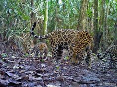 A jaguar mother with her two cubs in a Colombian oil palm plantation caught on camera - June 2012