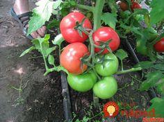 Farmár použil starodávny zlepšovák pri pestovaní paradajok: Vďaka starému chlebíku porastú ako z vody! Garden Care, Clever Diy, Vegetable Garden, Home And Garden, Fruit, Vegetables, Flowers, Food, Gardening