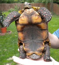 Just in case you need to know if you have a male Redfoot. Funny Pets, Funny Animals, Red Footed Tortoise, Turtle Care, Madagascar, Reptiles, Just In Case, Dan, Creatures