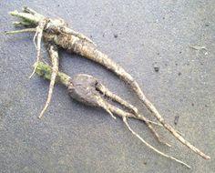 the recycled gardener: easy parsnip growing