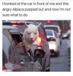 Dank Memes, Alpaca, and The Cars: I honked at the car in front of me and this  angry Alpaca popped out and now I'm not  sure what to do