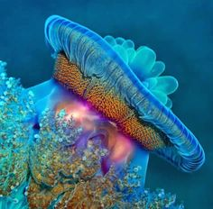 Jellyfish in Red Sea, Egypt