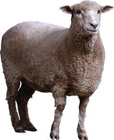 Sheep. Mouton cutout