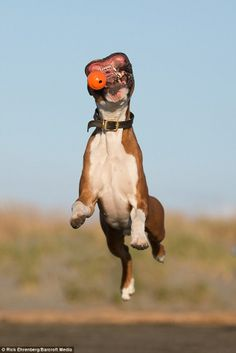Happy boxer dog charlie has hilarious face expressions