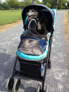 Every Italian Greyound should have a stroller.. best doggies ever